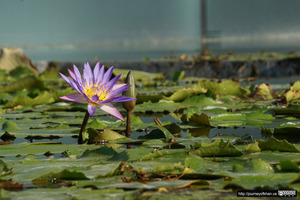 Purple Flower in a Pond