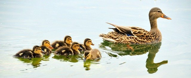 Mallard with six ducklings swimming